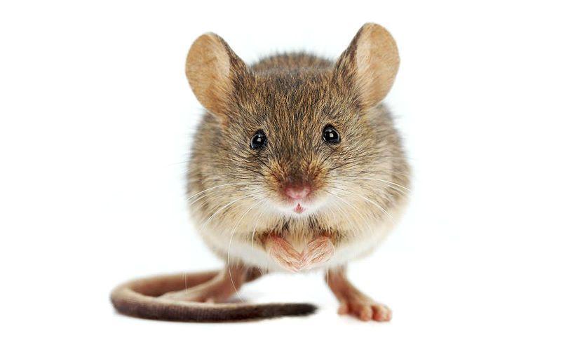 Разновидности мышей - главное фото