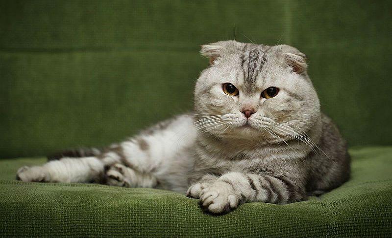 Роды шотландской вислоухой кошки