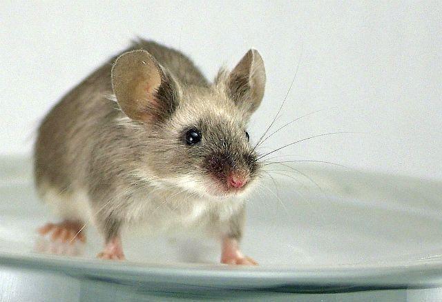Сатиновая мышь - окрасы