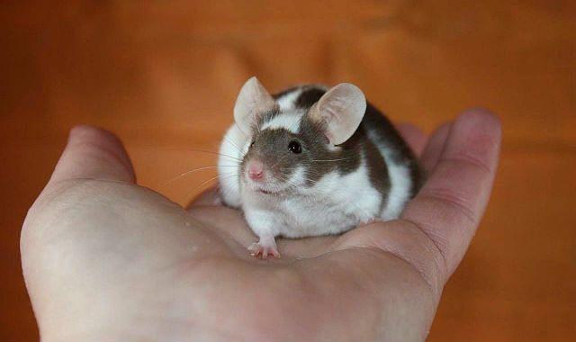 Сатиновая мышь - приручение