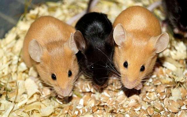 Сатиновые мыши - разведение