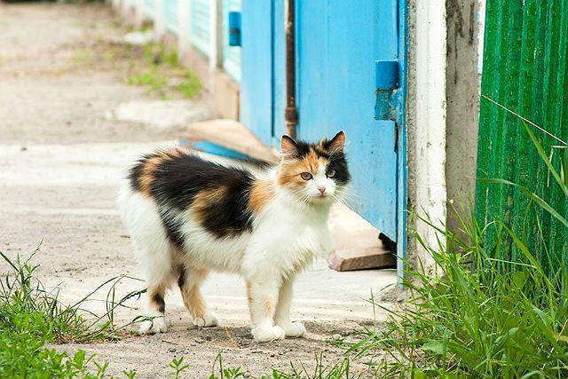 Стериизация кошки - показания
