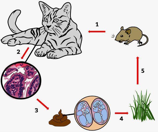 Токсоплазмоз у кошек - пути заражения