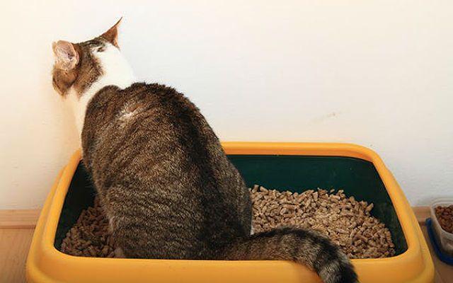 Токсоплазмоз у кошек - механизм развития