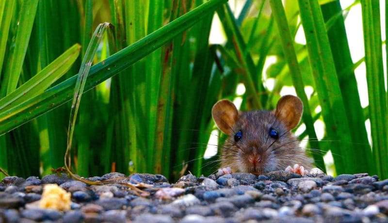 Трава от мышей - главное фото