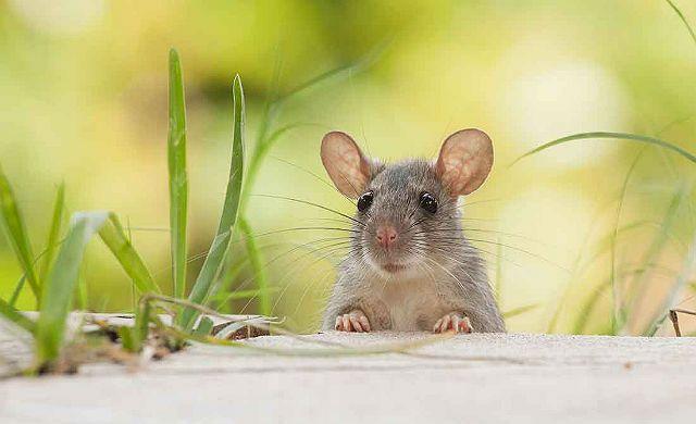 Ядовитые растения для мышей