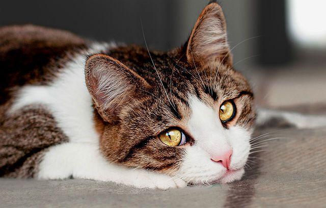 Трихобезоары у кошки