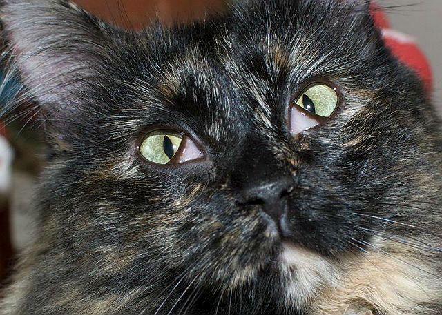 У кошки проблемы с третьим веком - пролапс