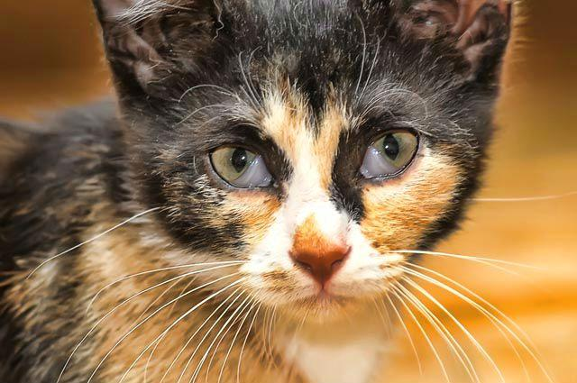 У кошки проблемы с третьим веком - новообразования
