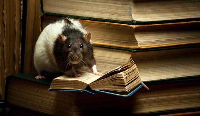 Умная крыса - главное фото