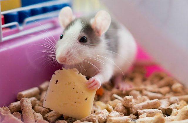Умная крыса - польза