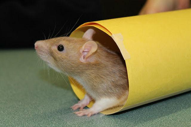 Умная крыса - приручение