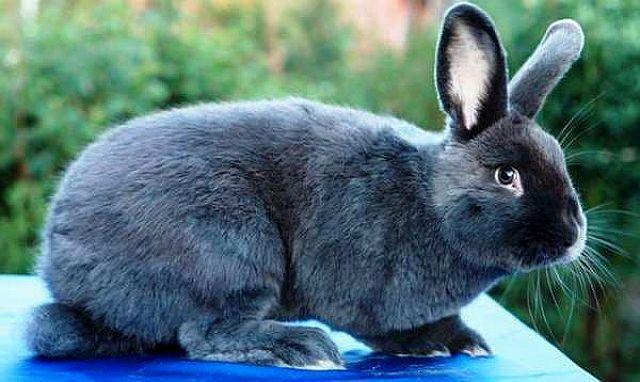 Венский голубой кролик - главное фото