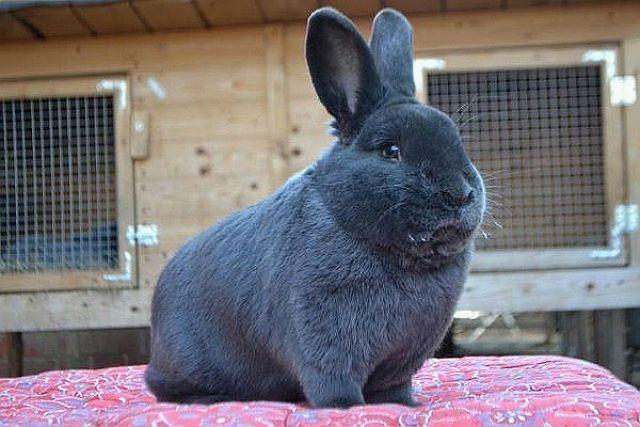 Венский кролик - как выбрать