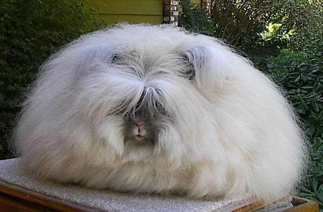Кролик Английская ангора