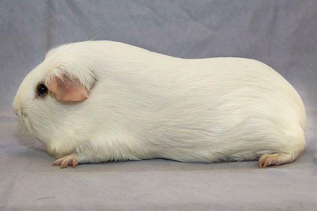 Английский селф - белая морская свинка