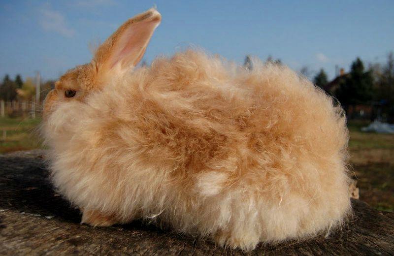 Ангорские кролики - главное фото