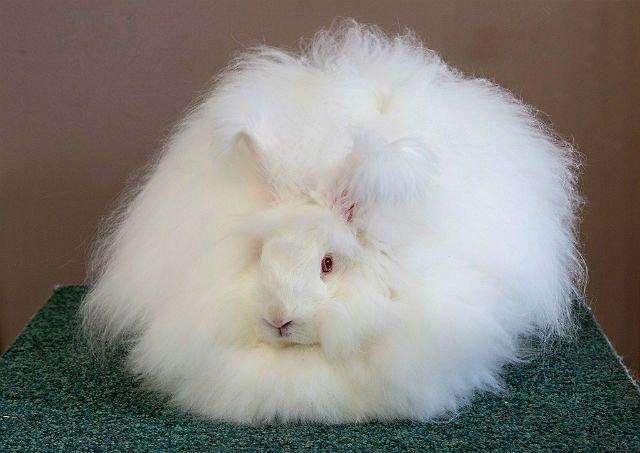 Ангорские кролики - уход и содержание