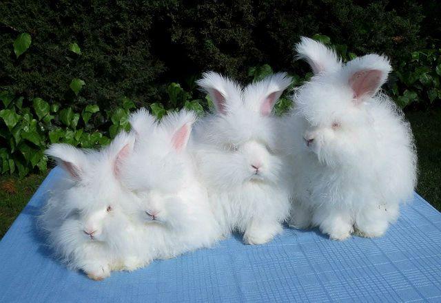 Ангорские кролики - размножение