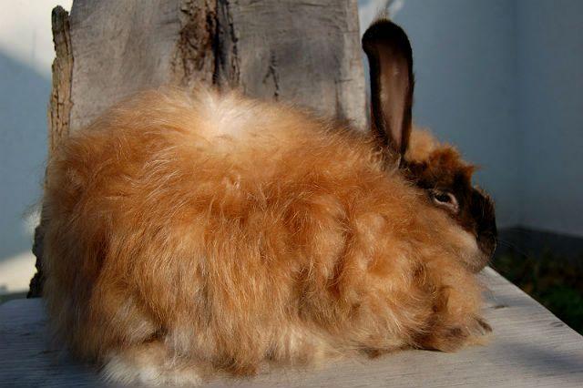 Ангорский кролик - рыжий
