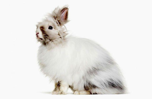 Французская ангора - кролик
