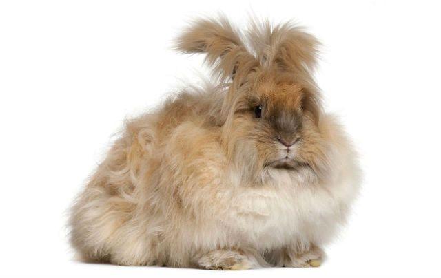 Ангорские кролики - окрас