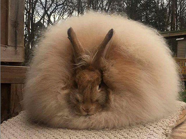 Ангорские кролики - как выбрать