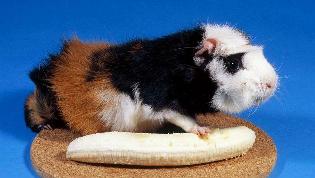 Банан для морской свинки