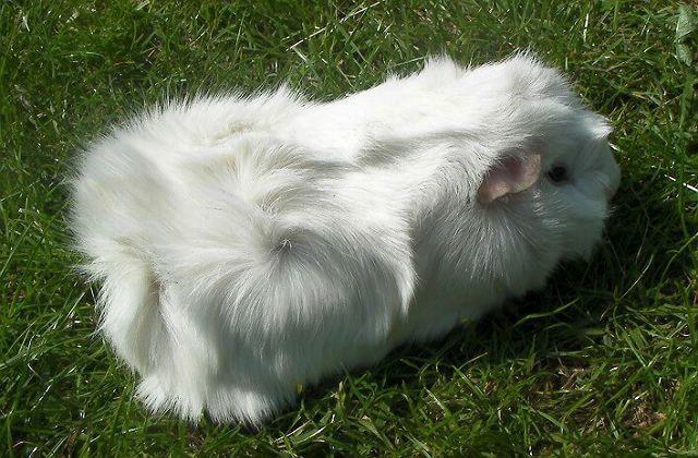 Белая абиссинская морская свинка
