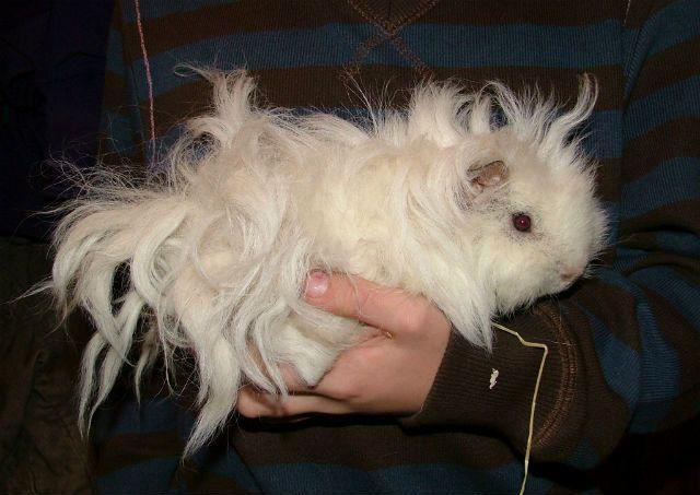 Белая морская свинка лункария