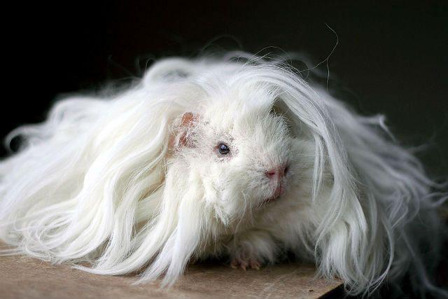 Белая морская свинка мерино