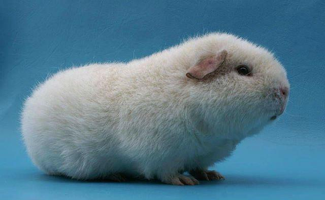 Белая морская свинка тедди