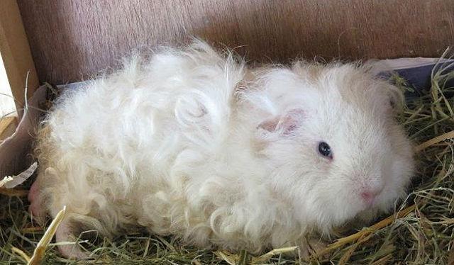 Белая морская свинка тексель белая