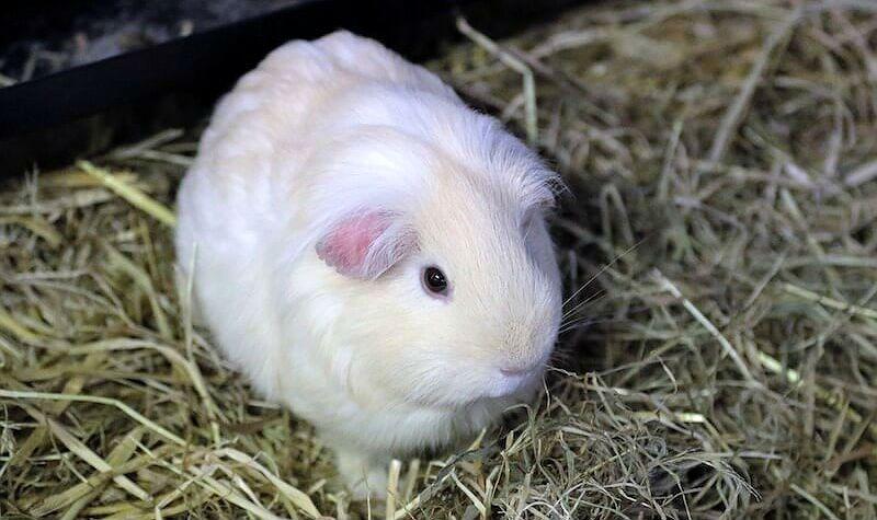 Белая морская свинка - главное фото