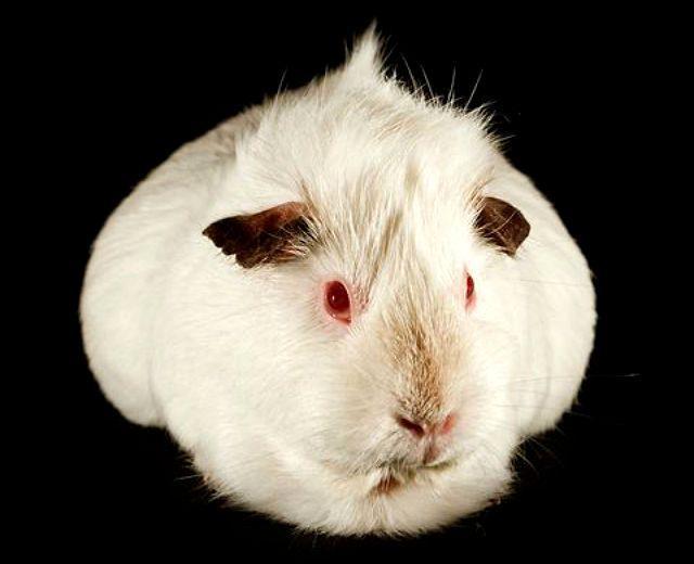 Белая сатиновая морская свинка-1