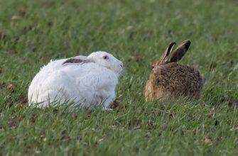 Белый и серый заяц - главное фото