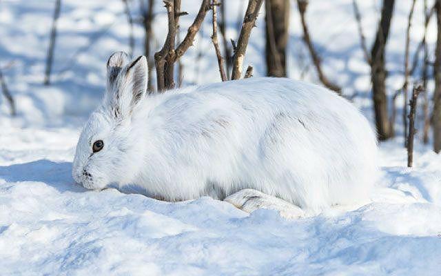 Заяц в белой шубке