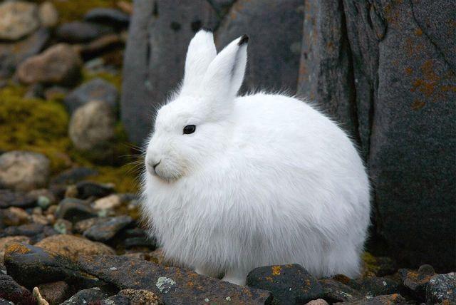 Белоснежный заяц