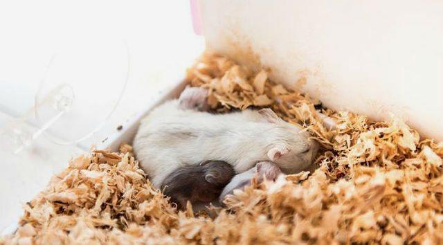Джунгарик с новорожденными хомячками