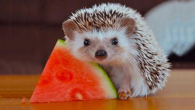Чем кормить ежика - арбуз
