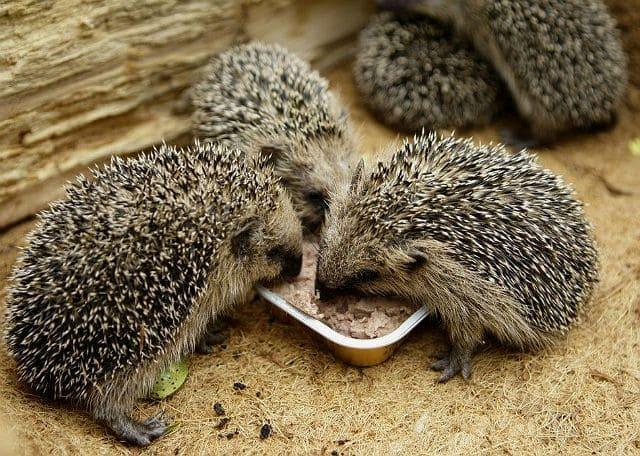 Чем кормить ежика - мягкие корма
