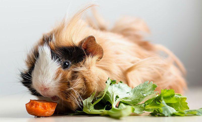 Чем кормить морскую свинку - главное фото