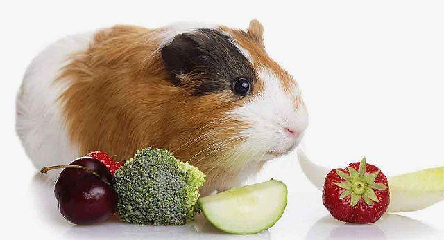 Чем кормить морскую свинку - сочные корма