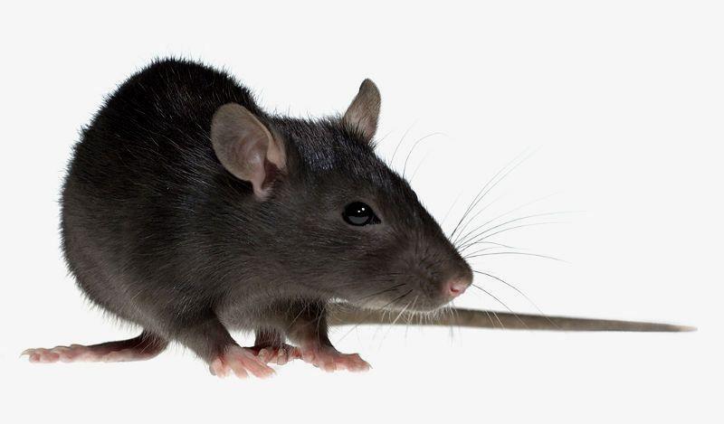 Черные крысы - главное фото