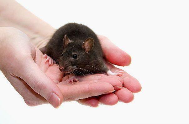Черные крысы на руках