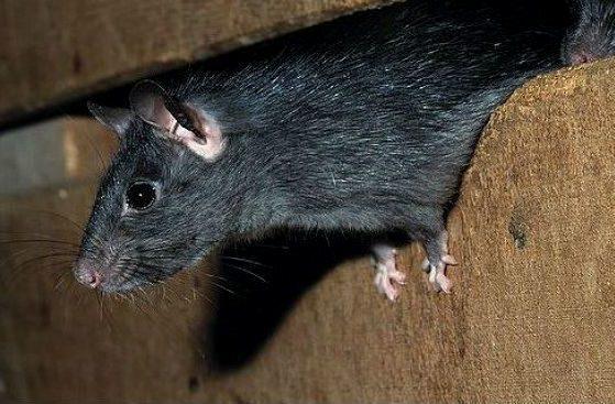 Черная крыска