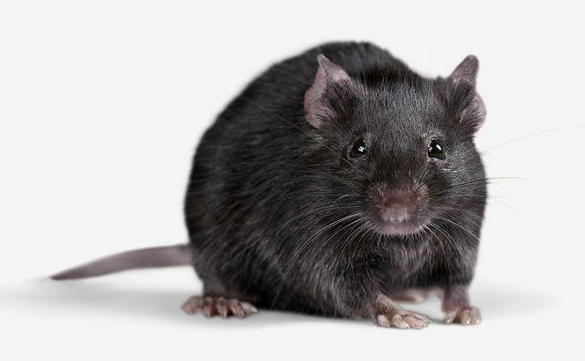 Черные крысы - внешний вид