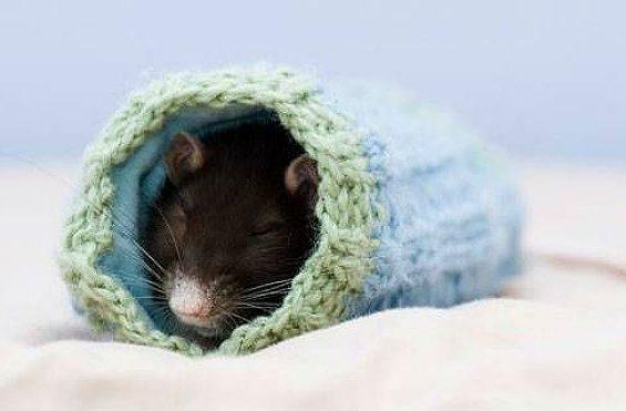 Черная крыска спит