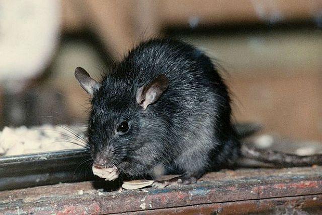 Черные крысы - питание
