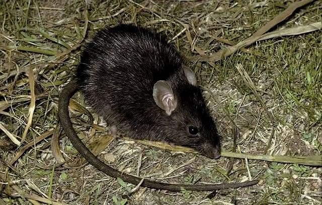 Черные крысы - среда обитания